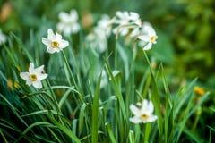 Конец-вверх поля белых и желтых Daffodils в Амстердаме, Нидерландах стоковая фотография