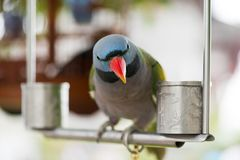 Конец-вверх попугая alexandri ожерелового попугая на железном окуне смотря Стоковые Изображения