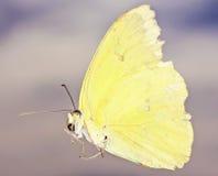 Конец вверх по бабочке серы, белянке семьи Стоковое фото RF