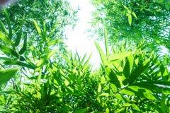 Конец вверх по бамбуку выходит зеленый цвет засаженный в сад, БУК BAMBUSA Стоковое фото RF