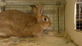 Конец вверх по большому коричневому кролику в hutch стоковое изображение rf