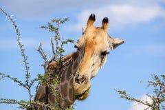 Конец вверх по взгляду дерева акации еды ` s жирафа головного выходит Стоковое Изображение
