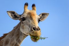 Конец вверх по взгляду дерева акации еды ` s жирафа головного выходит Стоковые Изображения RF