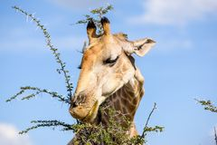 Конец вверх по взгляду дерева акации еды ` s жирафа головного выходит Стоковые Фото