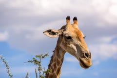 Конец вверх по взгляду дерева акации еды ` s жирафа головного выходит Стоковое Фото