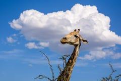 Конец вверх по взгляду дерева акации еды ` s жирафа головного выходит Стоковые Фотографии RF