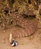 Конец вверх по взгляду трещотки Rattlesnake Стоковое Изображение RF