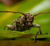 Длинн-horned жук Стоковое Изображение
