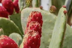 Конец вверх по естественному кактусу колючей груши красному стоковые фото