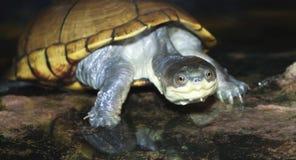 Конец вверх по желтой черепахе грязи стоковое изображение