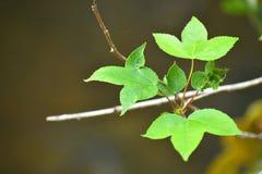 Конец вверх по зеленым вогнутым листьям 3 лепестка, остроконечных листья и ровные края на запачканной предпосылке стоковая фотография