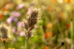 конец вверх по золотому шипу в предпосылка маков и полевых цветков стоковые изображения rf
