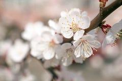 Конец вверх по красивому белому цветению абрикоса или яблока весной Немногое белые цветки на ветви Весна в парке, саде стоковые изображения rf