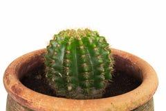 Конец вверх по мини кактусу изолированному на белой предпосылке стоковое изображение rf