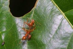 Конец вверх по пауку макроса скача ест муравья ткача, предпосылки природы Темы насекомого и живой природы Стоковое Изображение