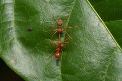 Конец вверх по пауку макроса скача ест муравья ткача, предпосылки природы Темы насекомого и живой природы Стоковое фото RF