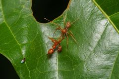 Конец вверх по пауку макроса скача ест муравья ткача, предпосылки природы Темы насекомого и живой природы Стоковое Изображение RF