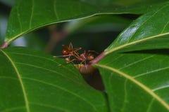 Конец вверх по пауку макроса скача ест муравья ткача, предпосылки природы Темы насекомого и живой природы Стоковые Фотографии RF