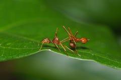 Конец вверх по пауку макроса скача ест муравья ткача, предпосылки природы Темы насекомого и живой природы Стоковое Фото