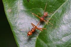 Конец вверх по пауку макроса скача ест муравья ткача, предпосылки природы Темы насекомого и живой природы Стоковые Фото