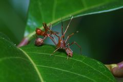 Конец вверх по пауку макроса скача ест муравья ткача, предпосылки природы Темы насекомого и живой природы Стоковые Изображения RF