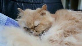 Конец вверх по персидскому коту моет и лижет лапку акции видеоматериалы
