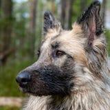 Конец вверх по портрету собаки в шведском лесе Стоковые Фото