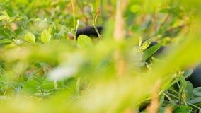 Конец вверх по семенам чилей рудоразборки фермера на дереве в утре с запачканным передним планом акции видеоматериалы