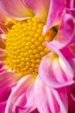 Конец вверх по смелейшему цветку в ярких цветах показывая золотой коэффициент закручивает в спираль Стоковые Изображения