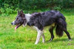 Конец вверх по собаке Коллиы границы идет в траву Стоковое Фото