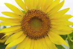 Конец вверх по солнцецвету Стоковые Фото