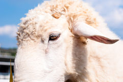 Конец вверх по стороне белых овец Стоковые Фотографии RF