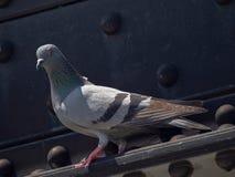 Конец вверх по съемке утеса нырнул голубь стоя на реке Kwai Стоковое Изображение RF