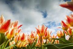 Конец-вверх поля тюльпана Стоковая Фотография