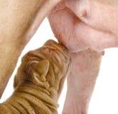 Конец вверх по newborn собаке щенка sharpei всасывает материнскую грудь. Стоковые Изображения RF