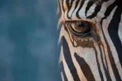 Конец-вверх правого глаза зебры Grevy Стоковые Изображения