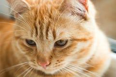 Конец-вверх предпосылки кота имбиря Стоковые Фото