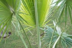 Конец-вверх предпосылки пальм принятое солнечное ладони листьев дня Стоковые Изображения RF