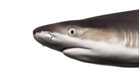 Конец-вверх профиля акулы рифа Blacktip Стоковая Фотография