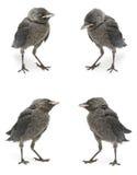 Конец-вверх птицы галки изолированный на белой предпосылке Стоковая Фотография RF