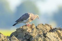Конец-вверх птицы голубя, palumbus колумбы, представляя и pre Стоковое Изображение RF