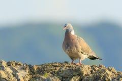Конец-вверх птицы голубя, palumbus колумбы, представляя и pre Стоковые Изображения RF
