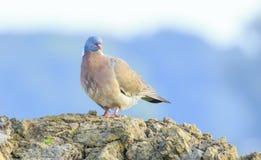 Конец-вверх птицы голубя, palumbus колумбы, представляя и pre Стоковое фото RF