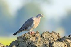 Конец-вверх птицы голубя, palumbus колумбы, представляя и pre Стоковое Фото