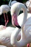 Конец вверх птицы фламингоа Стоковая Фотография RF