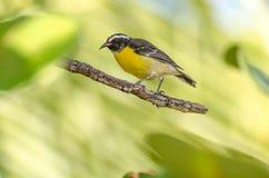 Конец-вверх птицы Bananaquit на ветви стоковые фото