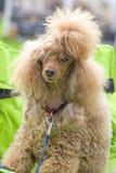 Конец-вверх пуделя собаки Стоковая Фотография