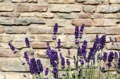 Конец-вверх пука лаванды цветения Стоковые Фото