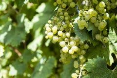 Конец-вверх пука белых виноградин День виноградников солнечный с белыми зрелыми группами виноградин Озеро Garda Итали Стоковое фото RF