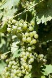 Конец-вверх пука белых виноградин День виноградников солнечный с белыми зрелыми группами виноградин Озеро Garda Итали Стоковая Фотография